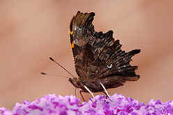 Comma butterfly underwing