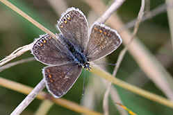 Common Blue female butterfly - colour variation