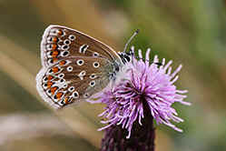 Common Blue female butterfly - underwing