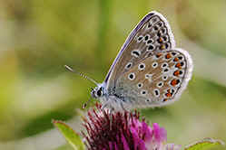 Common Blue butterfly underwing