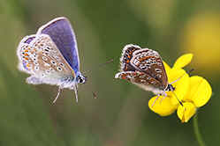 Male Common Blue butterfly chasing female
