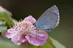 Holly Blue butterfly on bramble flower