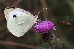 Large White female butterfly