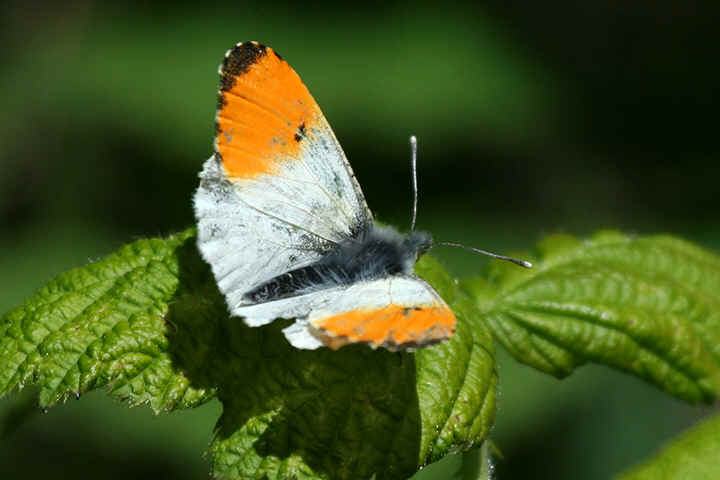 Orange Tip Butterfly, Orange Tip Butterfly Pictures