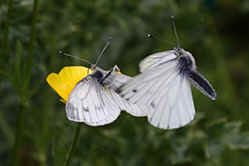 Small White butterflies mating