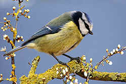 Blue Tit on blossom
