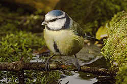 Blue Tit at water