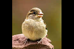 Young House Sparrow-