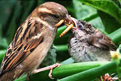 Female House Sparrow feeding young