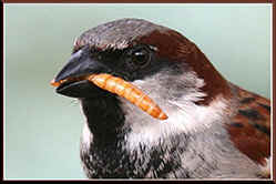 Male House Sparrow with maelworm