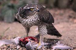 Female Sparrowhawk with prey, Collard Dove.