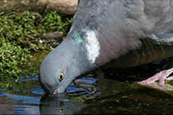 Wood pigeon drinking